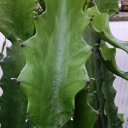 green euphorbia cactus