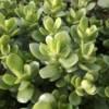 baby jade plant Crassula