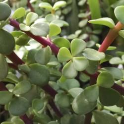 miniature jade plant Portulacaria
