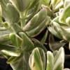 variegated jade plant Crassula