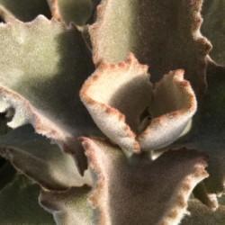 felt plant, velvet leaf plant, Kalanchoe