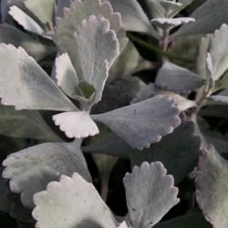flower dust plant Kalanchoe pumila