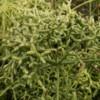 pencil plant link cactus, rhipsalis capilliformis