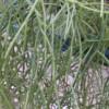 pencil plant link cactus, rhipsalis cassutha