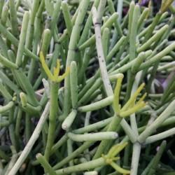 pencil plant, link cactus, Rhipsalis heteroclada