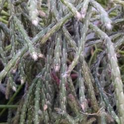pencil plant, link cactus, Rhipsalis pilocarpa