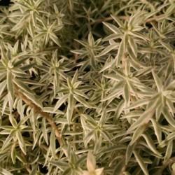 Sea Urchin Sedum
