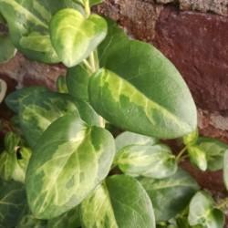 maculata vinca vine