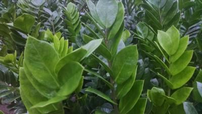zz plant eternity plant