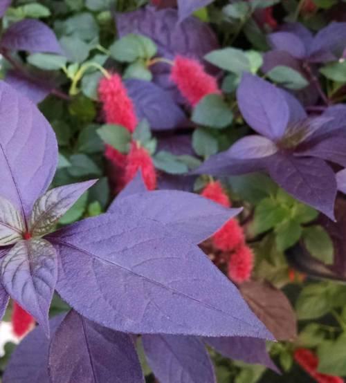 Purple Knight Alternanthera