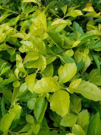 golden dewdrops plant