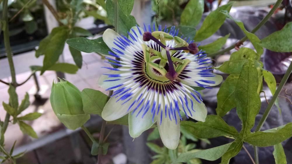 blue bahama passion flower plant