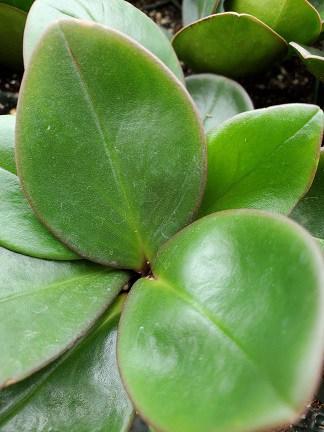 Red Edge Peperomia plant